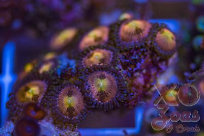 Rainbow Sakura Zoas Zoanthids 15+ Polyp Soft Coral Frag Marine Mini Colony High
