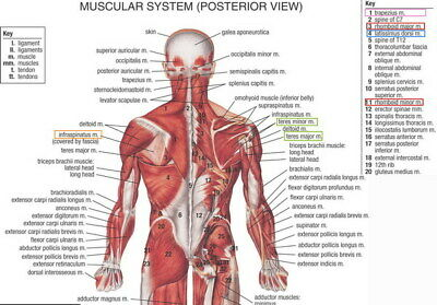 "007 Human System - Body Anatomical Chart Muscular Skeletal 34""x24"" Poster"