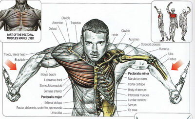"008 Human System - Body Anatomical Chart Muscular Skeletal 39""x24"" Poster"