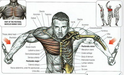 "008 Human System - Body Anatomical Chart Muscular Skeletal 23""x14"" Poster"