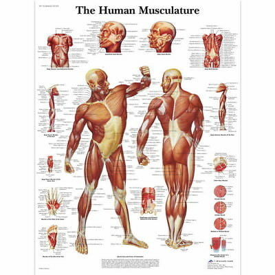 "010 Human System - Body Anatomical Chart Muscular Skeletal 24""x24"" Poster"