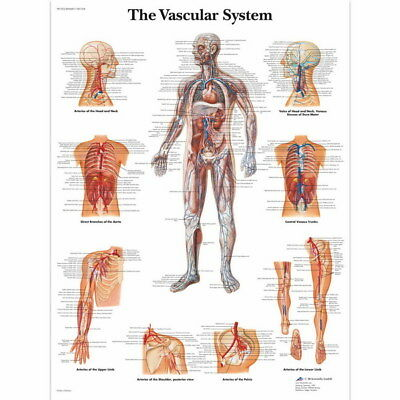 "012 Human System - Body Anatomical Chart Muscular Skeletal 24""x24"" Poster"