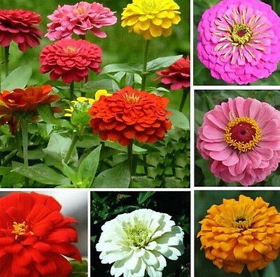 FD939 Mixed Color Zinnia Elegans Giant Home Garden Planting Flower Seeds ~50PC:)
