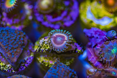 LC Hawkmoon Zoas Zoanthids Palythoa 1 Polyp Soft Coral Frag High End