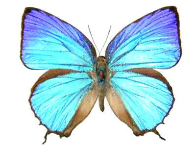 Taxidermy - real papered insects : Lycaenidae : Arhopala araxes PAIR