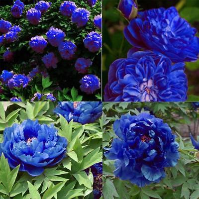 New Nice Adorable Flower Fragrant Seeds Fragrant Blooms Peony Seeds S5DY