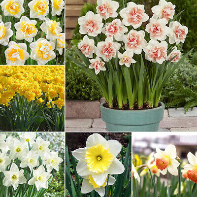20Pcs Double Narcissus Duo Bulbs Scented Pastel Mixed Daffodil Spring Flower New
