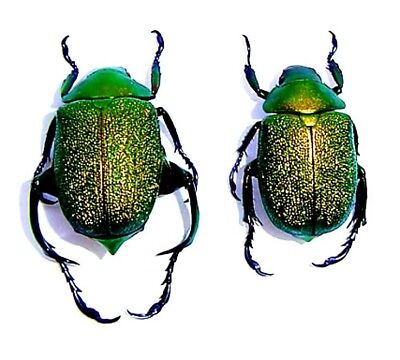 Taxidermy - real papered insects : Rutelinae : Chrysophora chrysochlora PAIR