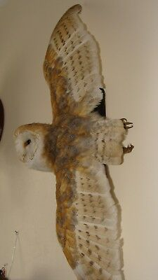 BARN OWL tyto alba  WINGS OPEN ON WALL WITH  A10 CERTIFCATE