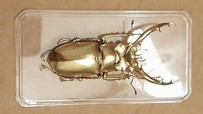 Exotic Oversea Golden real Beetle for Education & Collection----God's Hobby