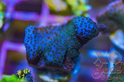 Blue Green Plating? Montipora Monti SPS Hard Stony Coral Frag Superman Poker Sta