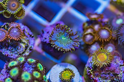 Wonkaberry PE People Eater Zoas Zoanthids 1 Polyp Soft Coral Frag Palythoa