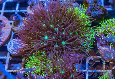 Ultra Neon Green Star Polyps Mint Choc Chip Combo Soft Coral 5cm Frag GSP Xenia