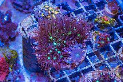 Mint Choc Chip Star Polyps Clove Combo Soft Coral 5cm Frag GSP Xenia Pachyclavul