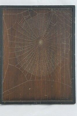 Vtg Mounted Orb Weaver Knight's Spider Web Farm Rustic Preserved Real Spiderweb