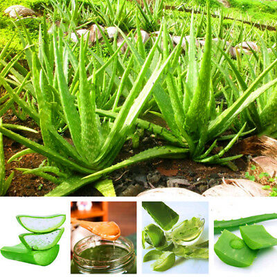 100 Seed Aloe Vera Seeds Edible Succulent Plant Rare Herbal Medicinal Vegetables