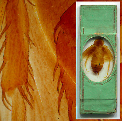 Whole Insect Microscope Slide, Victorian Papered