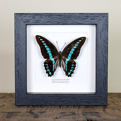 Milons Swallowtail Mounted Butterfly (Graphium milon) Butterfly Frame