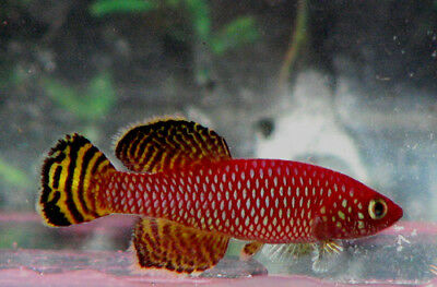 50 eggs N. korthausae Mafia  Killifish (killiefish) eggs