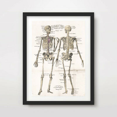 ANTIQUE HUMAN SKELETON CHART ART PRINT Poster Decor Wall Chart Illustration