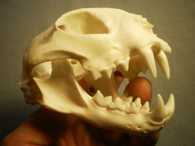 Taxidermy SKULL bobcat clean specimen nice  HUGE 4 1/2   inches great teeth