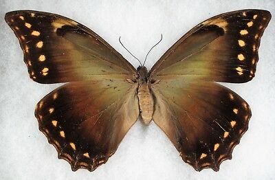 Insect/Butterlfy/ Morpho hercules - Male 6.5""