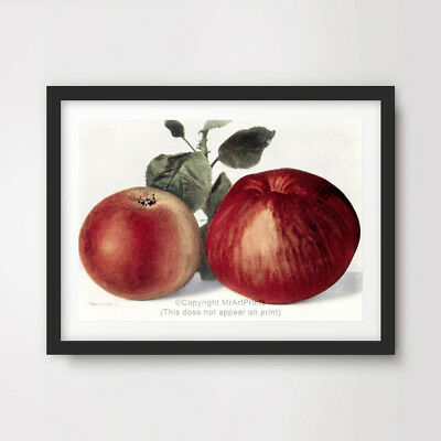 RED APPLES STILL LIFE FRUIT ART PRINT Farmhouse Kitchen Decor Country Style