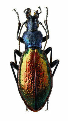 Taxidermy - real papered insects : Carabaeidae : Chrysotribax hispanus