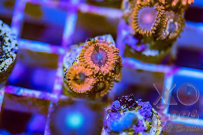 Eye Of Sauron Zoas Zoanthids 4 Polyp Frag Plug Soft Coral High End Zoanthus