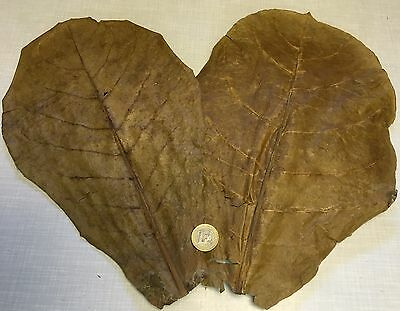 for 2 Giant Tropical Almond Tree Leaves ca.35cm QUANTITY DISCOUNT 2 5 10