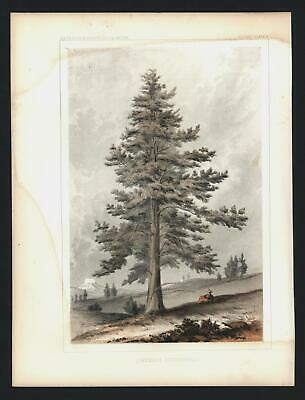 Trees old prints lot x 10 Western America 1855-7 Young California Oregon