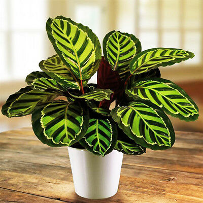 100PCS Calathea Seeds Air Freshening Flower Rare Decor Plant House Garden Color