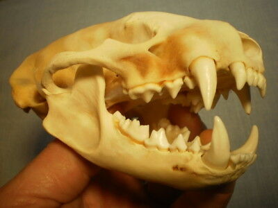 Badger Taxidermy SKULL 4 3/4   inches HUGE great teeth