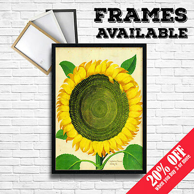 SUNFLOWER BOTANICAL Poster Vintage Art Print A3 A4 Frame Options Home Wall Decor