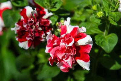 Petunia Double Rose Pirouette 15 Seeds - Garden Masterpiece
