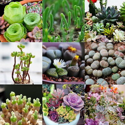 100pcs Mixed Succulent Seeds Rare Living Stones Lithops Flower Seed