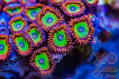 Bowser Palythoa Palys Zoas Zoanthids CTO Frag Plug Soft Marine Coral High End