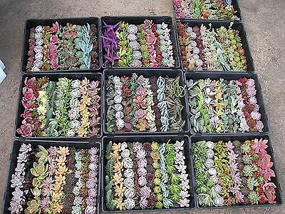 Succulent cuttings for vertical & roof 60 cuttings (6 types x 10)