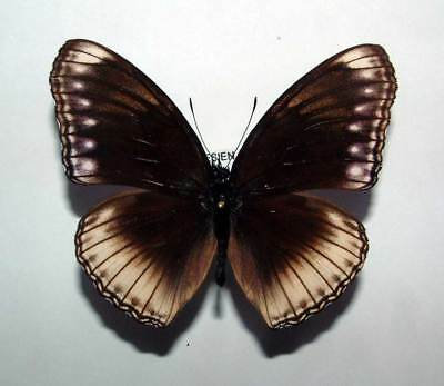 HYPOLIMNAS ANOMALA ssp (?) - unmounted butterfly