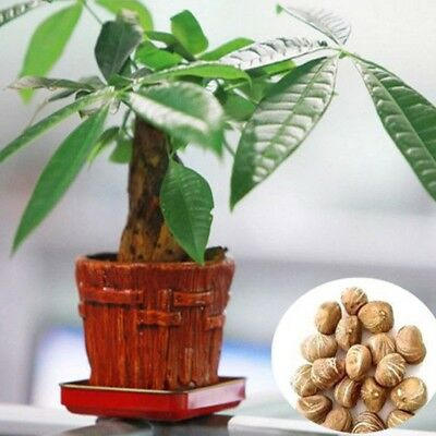 Mini Pachira Aquatica Money Tree Seeds Evergreen Indoor Garden House Plant Seeds