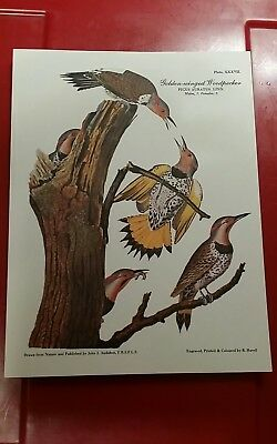 "GOLDEN-WINGED WOODPECKER JJ Audubon litho repro  R.Havell 8"" x 6"""