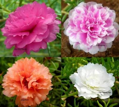 Moss Rose Double Flower Mix Seed by Zellajake Yellow Pink White Red Xeriscape 79