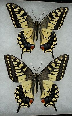Insect/Butterfly/ Papilio machaon oregonia - Pair