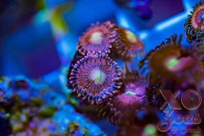 Playboy Bunnies Zoas Zoanthids 3 Polyp Soft Coral Frag Plug Marine High End