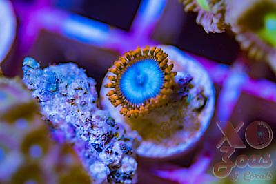 OG Superman Palys Palythoa Zoas Zoanthids 1p Coral Frag Marine Ultra High End So