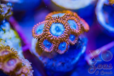 OG Superman Palys Palythoa Zoas Zoanthids 9p Coral Frag Marine Ultra High End So