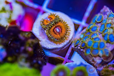 Hellacious Palys Palythoa Zoas Zoanthids 2p Coral Frag Marine High End Soft
