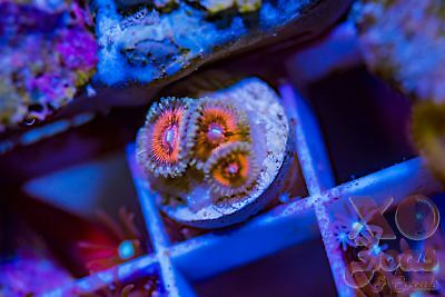 Hellacious Palys Palythoa Zoas Zoanthids 3p Coral Frag Marine High End Soft