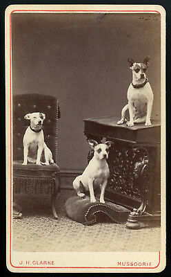 Exceptional 3 Dog Cdv 1872 Mussoorie India Id'ed Dogs Pit Bull Characteristics