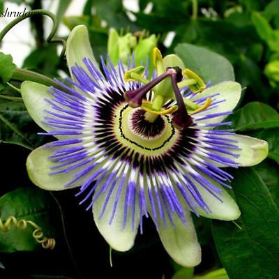 100pcs/Bag Passion Flower Seeds Vine Fruit Passiflora Bonsai Seeds Home S5DY